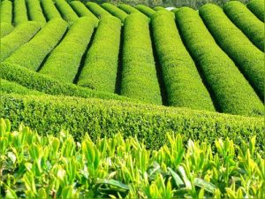 arbusto de matcha